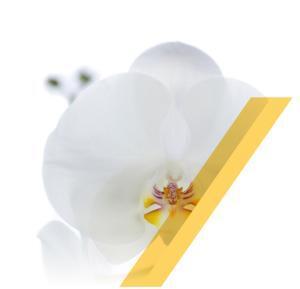 phalaenopsis-white-world