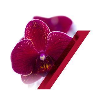 phalaenopsis-kimono
