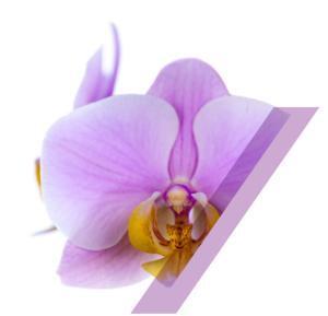 phalaenopsis-salinas